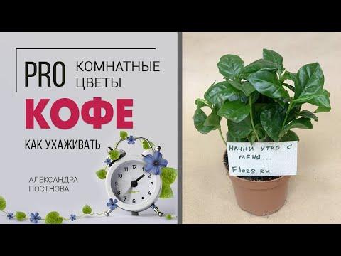 Кофе дерево, куст или трава? Как растет? Будут ли плоды на кофе в домашних условиях?