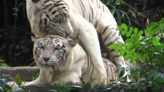 video clip - tigers having sex - singapore zoo - sidneysealine