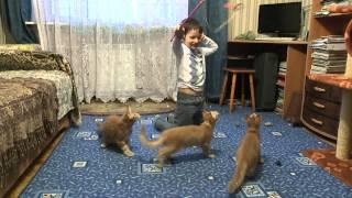 Чистокровные Котята Мейн Кун-Питомник LICACOON