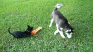 Siberian Husky Puppies And Miniature Pinscher Playing