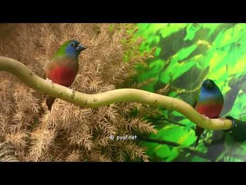 Prachtfinken - Pyaf.net