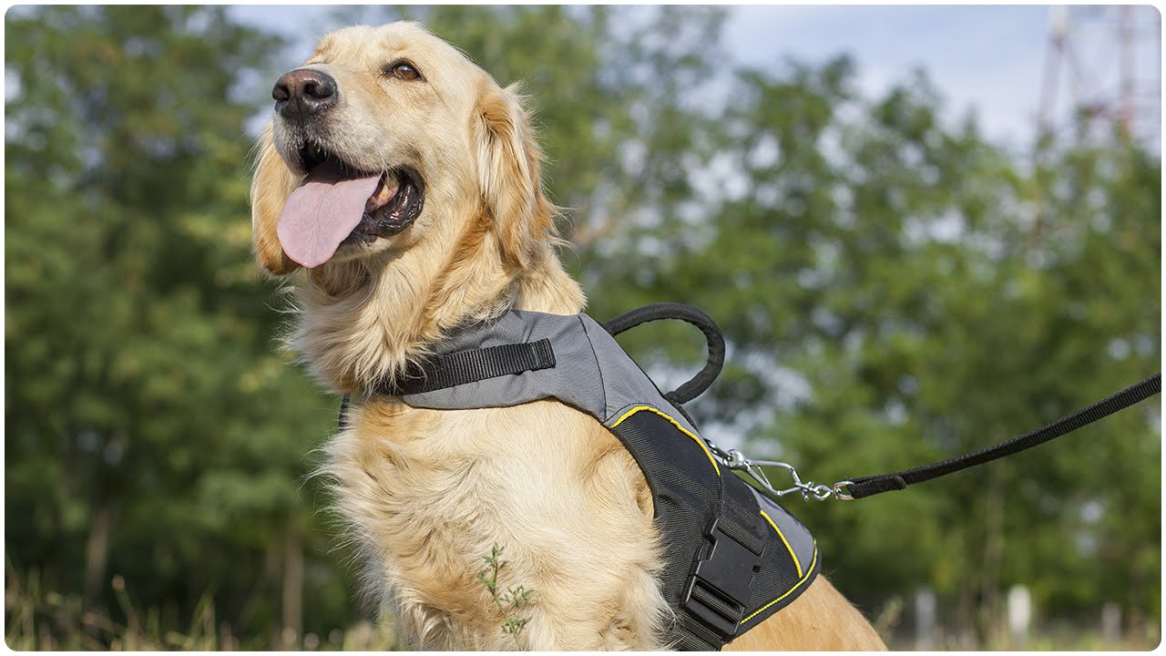 Golden Retriever With His Adjule Nylon Dog Harness For Rehabilitation And Winter Warming On