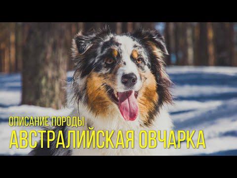 Собака аусси – порода Австралийская овчарка. Описание породы Australian Shepherd