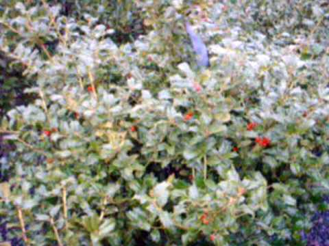 We have Serviceberry Autumn Brilliance and Viburnum Willowood