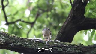 Gambar cover 野鳥 ツミの餌渡し Accipiter gularis