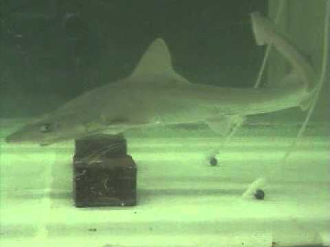 Shark attacking source of food odor at Woods Hole Oceanographic Institution