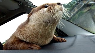 If in the car, Aty can go to the river! The otter finally enjoys driving! [Otter life Day 337]