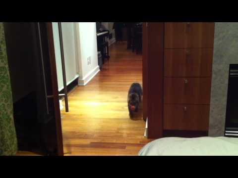 Severus the siberian cat fetching.