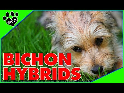 Designer Dogs 101: Top 10 Bichon Frise Hybrid Breeds  Animal Facts