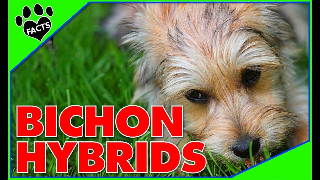 Designer Dogs 101 Top 10 Bichon Frise Hybrid Breeds Animal Facts