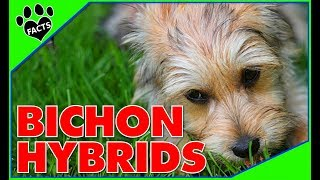 Designer Dogs 101: Top 10 Bichon Frise Hybrid Breeds  Animal Facts