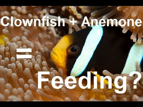 Clownfish Feeding Anemones: How Is It Done?