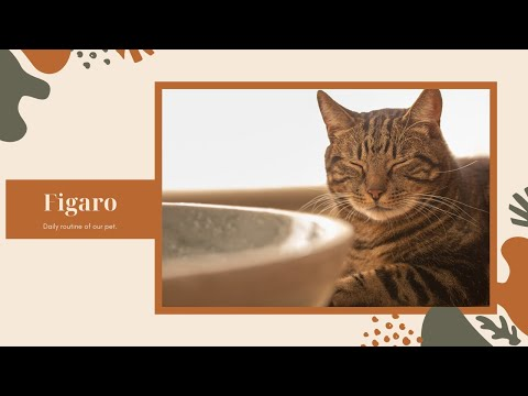 What is Figaro's Daily Routine? Please watch for cat lovers.
