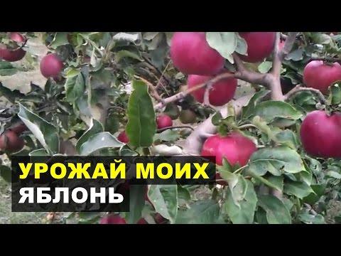 Яблоки в моём саду. Урожай до 150 килограмм с дерева!