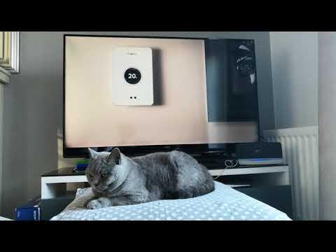 BRITISH SHORTHAIR CAT REACTS TO WORCESTER BOSCH CAT ADVERT