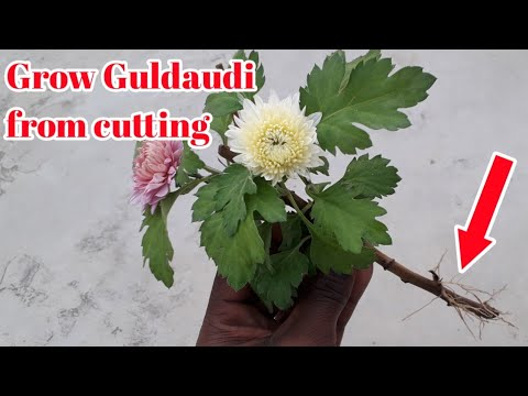 How to grow Chrysanthemums by cuttings || Best Time to grow Chrysanthemums / Guldaudi cuttings