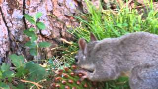 Squirrel Tears Apart Pine Cone to Eat Pine Nuts