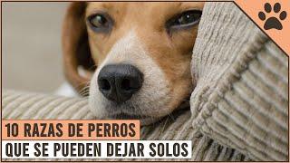 10 Razas De Perros Que Se Pueden Dejar Solos | Perros Mundo