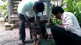 Injecting Doberman Dog