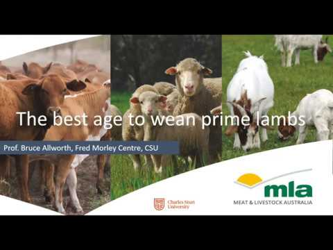 The best age to wean prime lambs