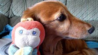 Biddy Sings Happy Birthday To Dachshund