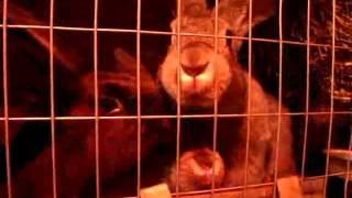 видео Как сделать теплый сарай для кроликов