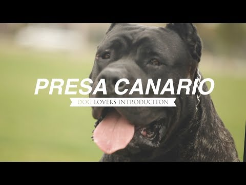 PRESA CANARIO A DOG LOVER'S INTRODUCTION