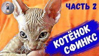 Котенок Сфинкс нашел дом! Часть 2. Приколы с котами продолжаются! Спиннер, как игрушка
