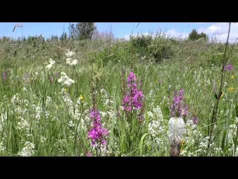 Луговые цветы и травы.