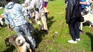 """Выставка охотничьих собак породы """"Западно сибирская лайка"""" в Тюмени"""