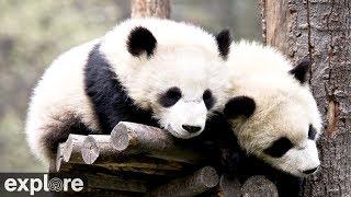 Wolong Grove Panda Cam powered by EXPLORE.org thumbnail