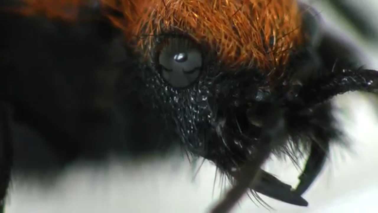 Cow killer bee - photo#28