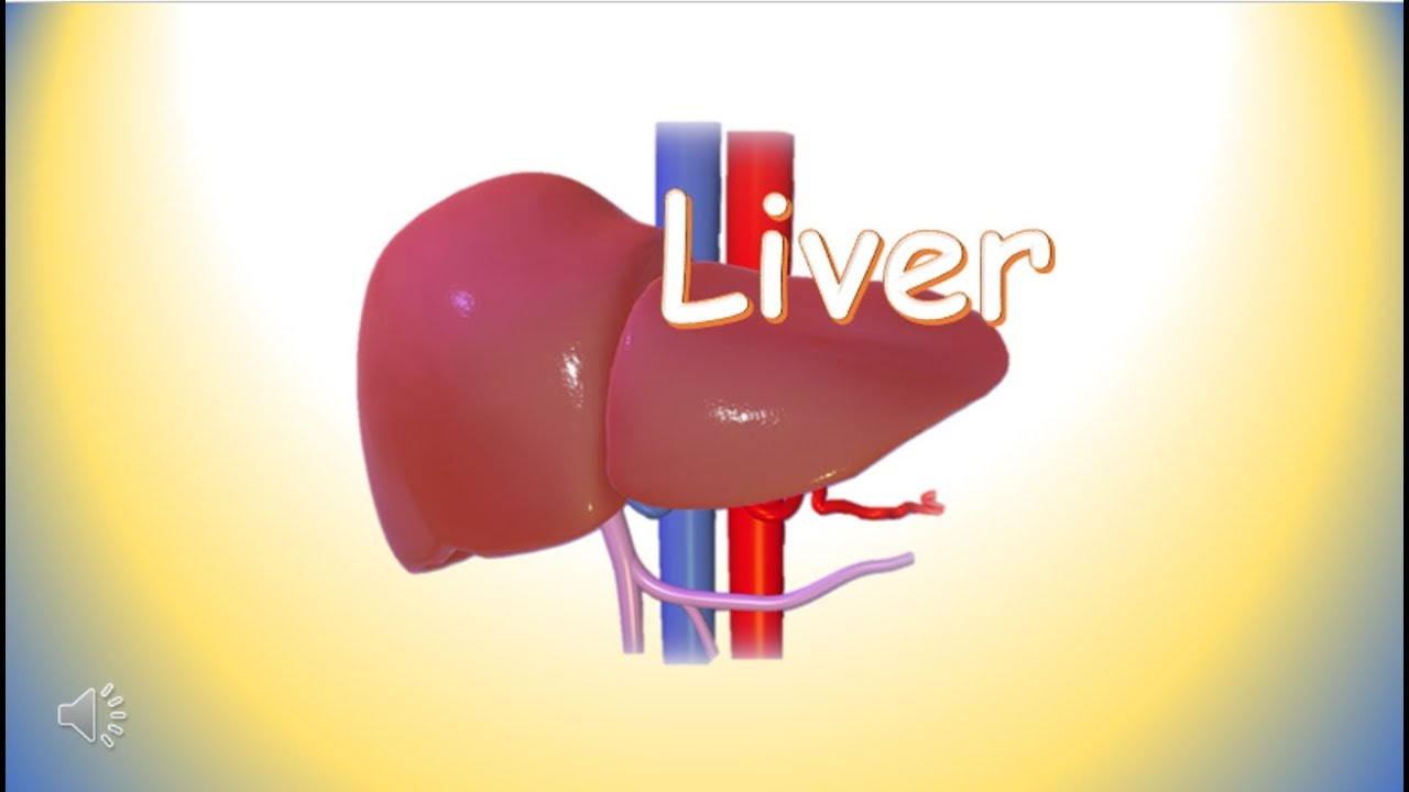 Liver Functions Of Liver Human Body Organs Science For Kids