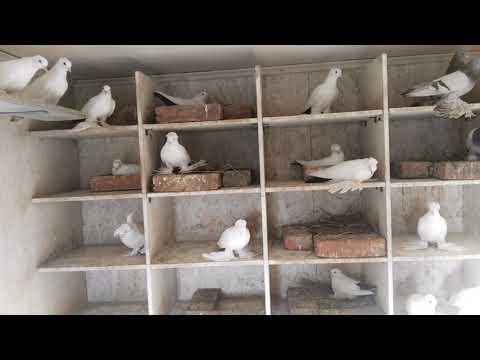 Домашние голуби 2019 г. Казахстан, г. Костанай.