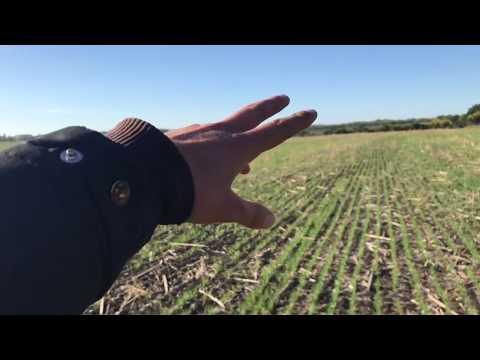 Пшениця та її