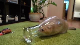 猫のホシコさん、グラスに入りガラスごしの世界を探検する