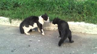 Cats fight / разборки котов Galaxy SII