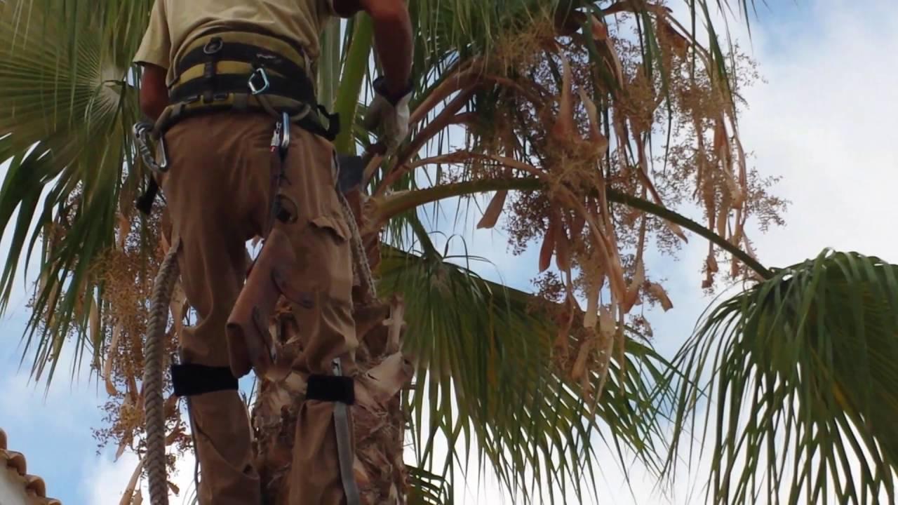 poda de palmeras washingtonia robusta youtube
