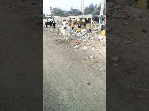 Smart City Faridabad in Haryana: Cow eating garbage & polythene