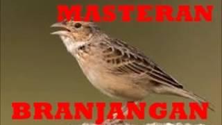 Spesial Masteran Suara Branjangan Lokal Masteran Burung Kicau 1