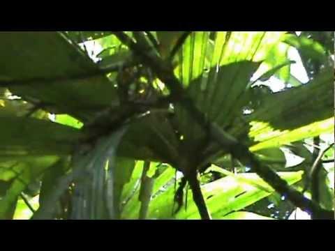 Amazon medicinal botany
