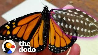 Woman Repairs Butterfly's Broken Wing With A Feather | The Dodo Faith = Restored