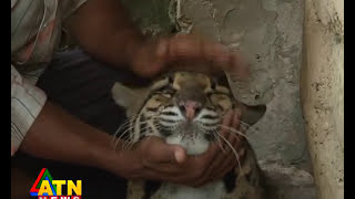 wildlife News of Safari park, Cocxbazar, Bangladesh-clouded leopard thumbnail