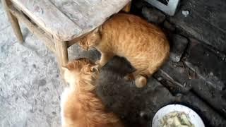 рыжие коты подрались