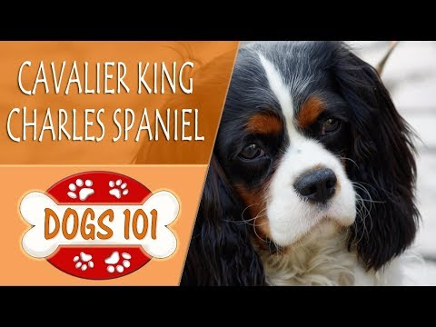 Dogs 101 - CAVALIER KING CHARLES SPANIEL- Top Dog Facts About the CAVALIER KING CHARLES SPANIEL