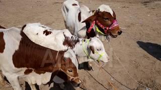 Cholistan, sahiwal, makhi cheeny bull for eid purchasing عید کے لئے مکھی چینے ساھیوال، چولستانی وچھے