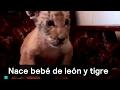 Nace bebé de león y tigre - Ligre - Denise Maerker 10 en punto