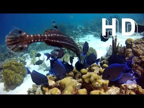 Shoaling and Schooling - Bonaire fish school (HD) - Cardume de peixes