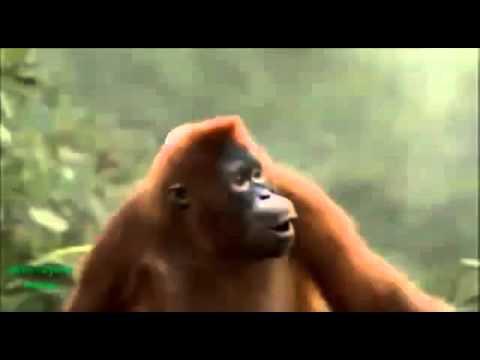 Video lucu monyet gong xi facai - YouTube