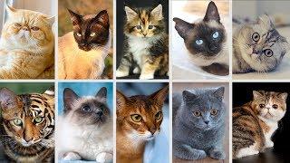 Top 10 Giống Mèo Đẹp Nhất mà bạn không thể bỏ qua
